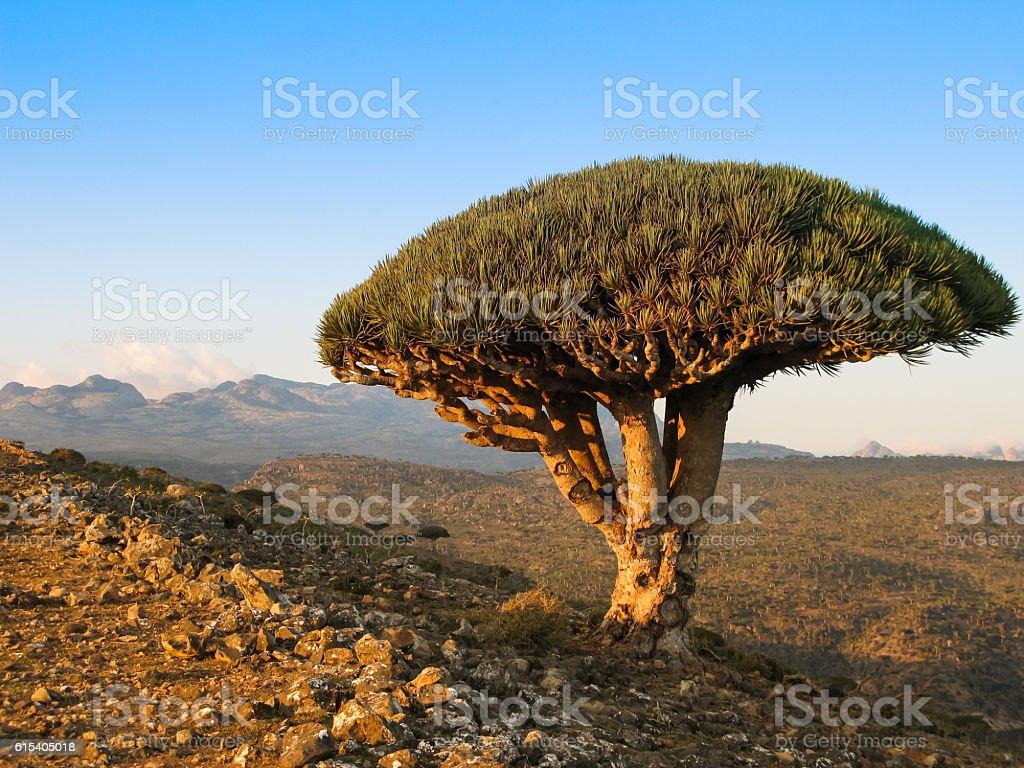 Dragon tree, endemic plant of Socotra island Yemen stock photo