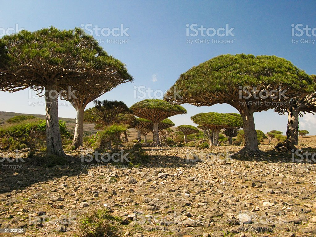 Dragon tree forest, endemic plant of Socotra island stock photo
