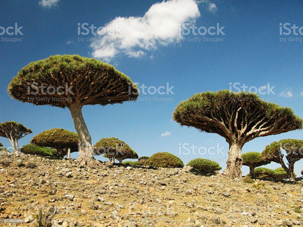 Dragon tree forest, Socotra island, Yemen stock photo