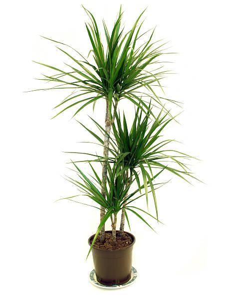 Dragon Tree (Dracaena marginata) House Plant  corn lilly stock pictures, royalty-free photos & images