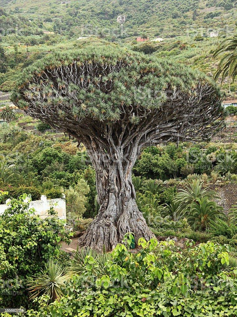 Dragon tree - Tenerife royalty-free stock photo