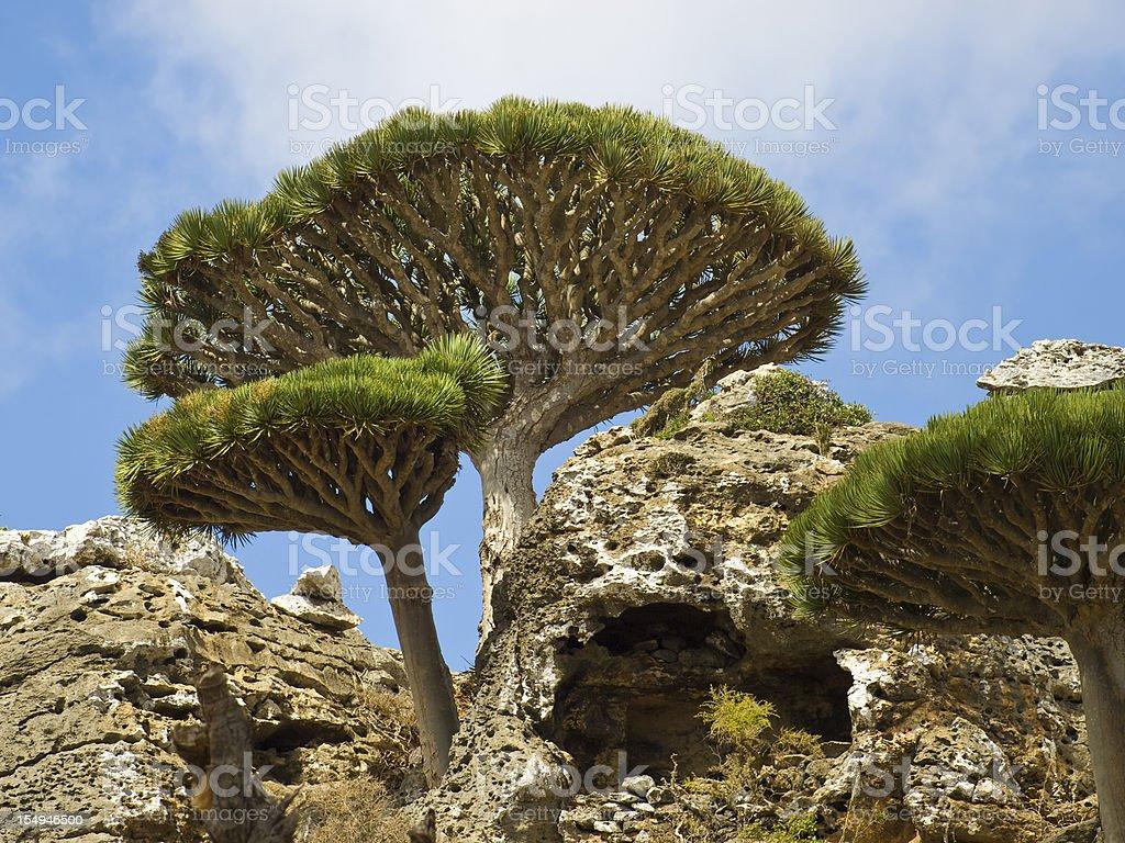 Dragon trees and sky stock photo