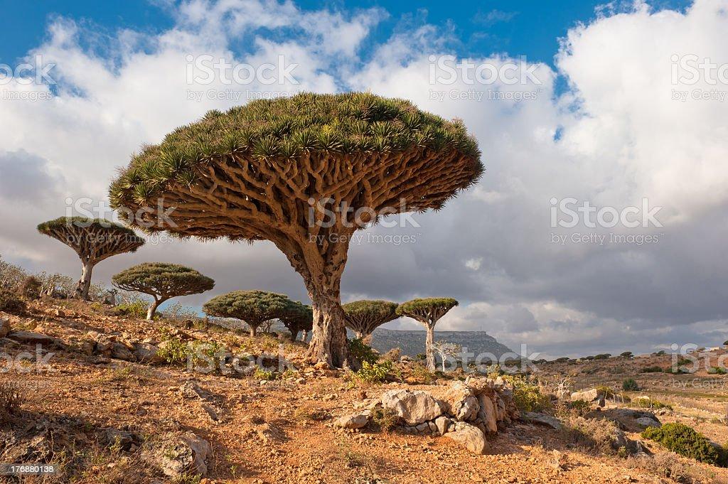 Dragon trees at Homhil desert plateau, Socotra, Yemen stock photo