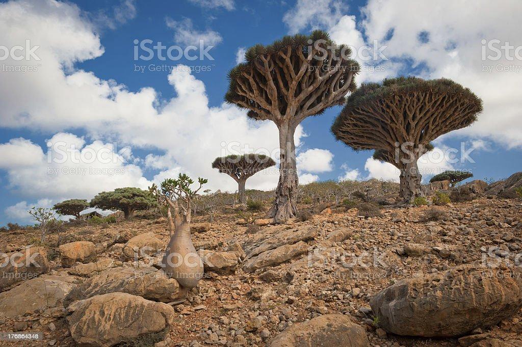 Dragon trees at Homhil plateau, Socotra, Yemen stock photo