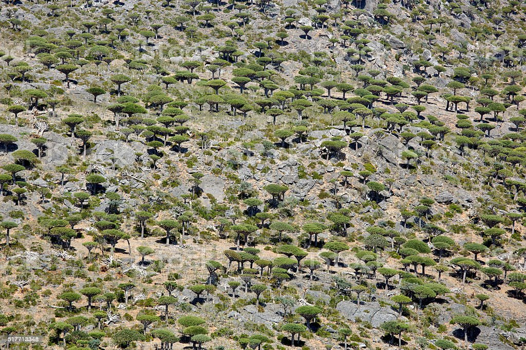Dragon trees forest  in Socotran highlands stock photo