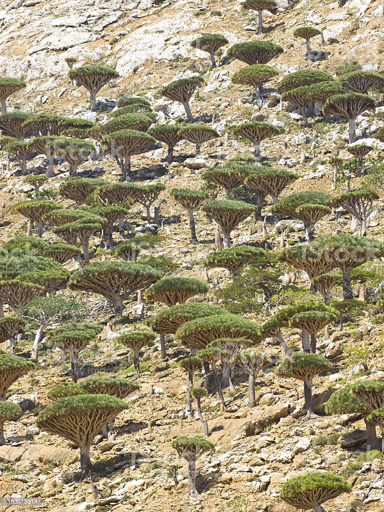Dragon trees forest stock photo