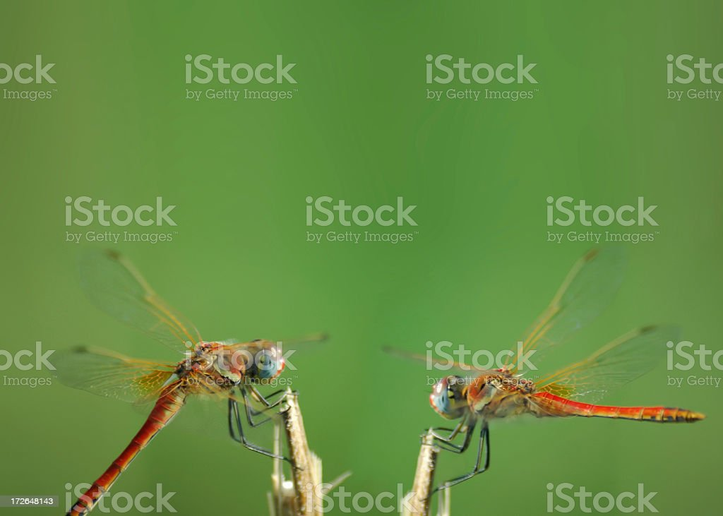 dragonflies discussion royalty-free stock photo