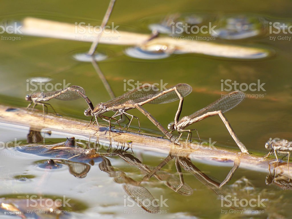 Dragonflies in love stock photo