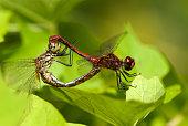 Damselflies (Ischnura senegalensis) on branch