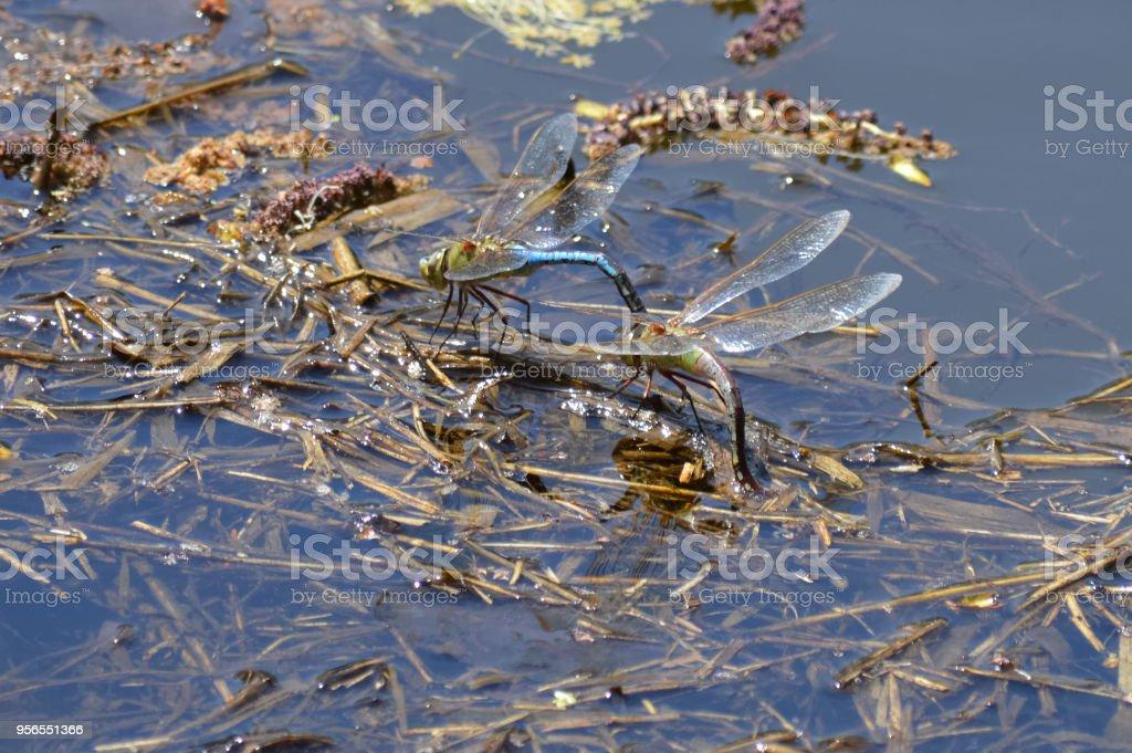 Libellen - Lizenzfrei Blau Stock-Foto
