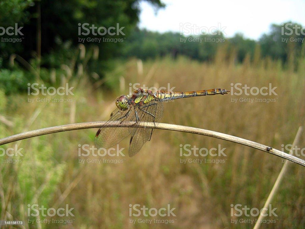 dragonfly : Aeshna viridis royalty-free stock photo