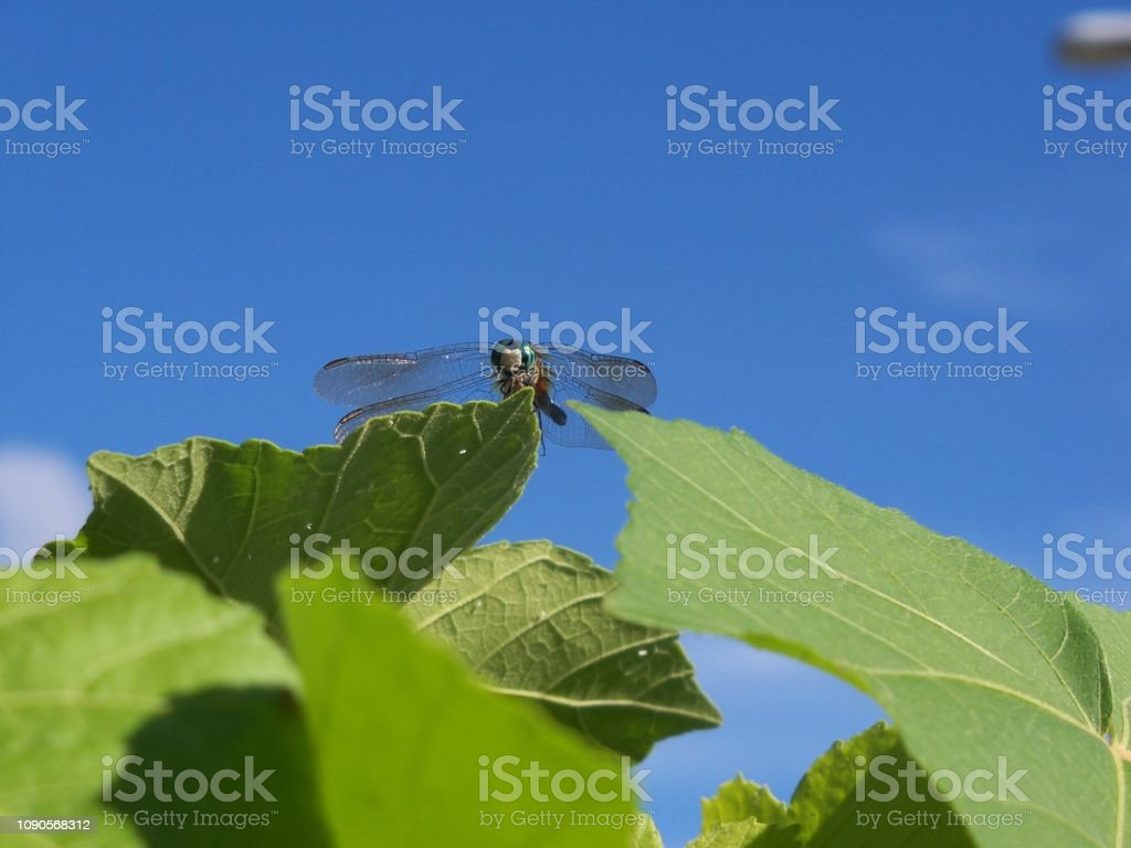Dragonfly against a blue sky stock photo