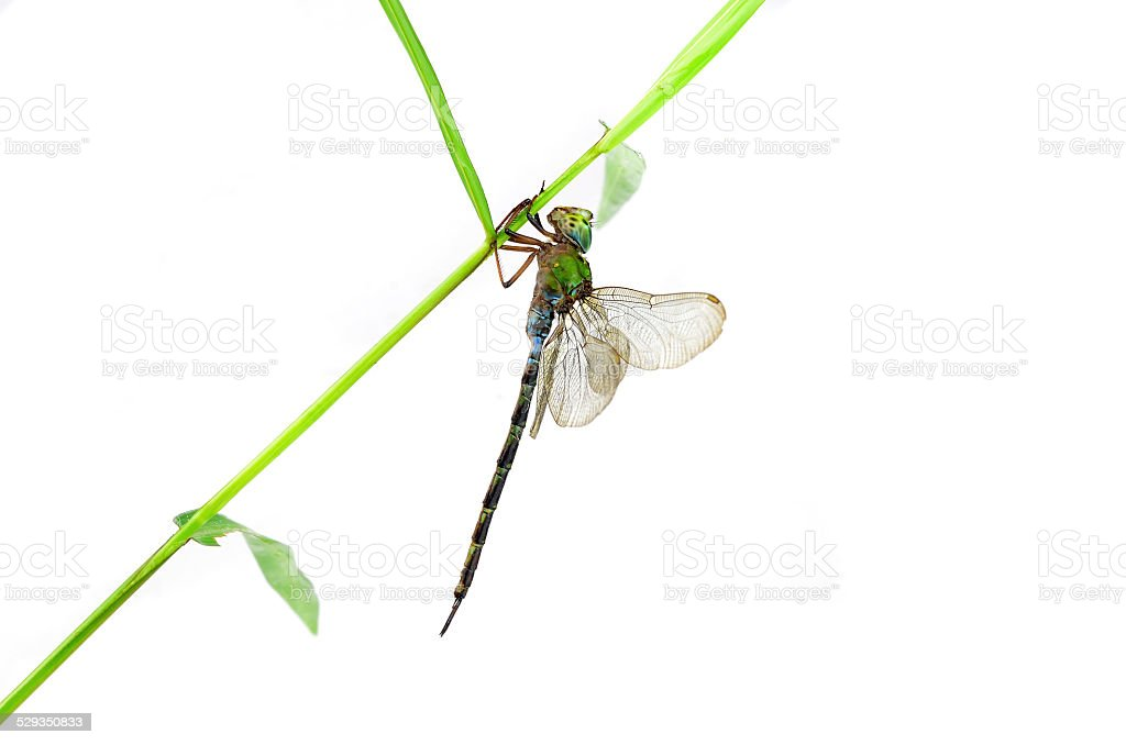 Dragonfly Anax imperator (female) Blue Emperor on a white backgr stock photo