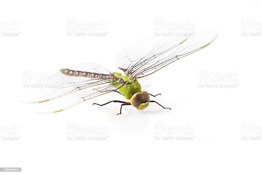 Dragonfly Anax imperator (male) Blue Emperor on a white backgrou stock photo