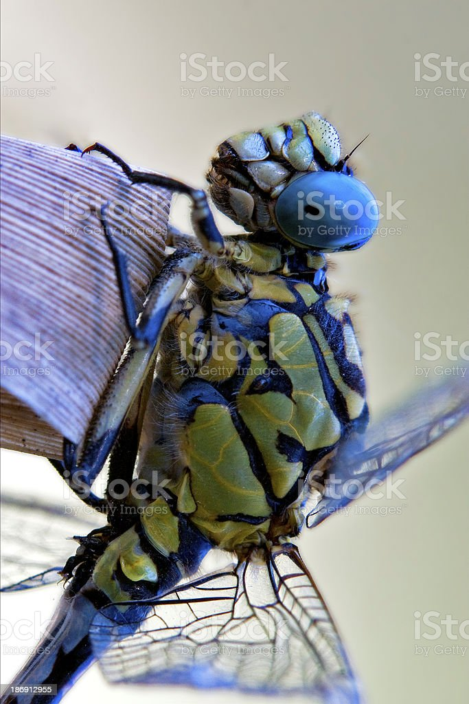 dragonfly anax imperator stock photo