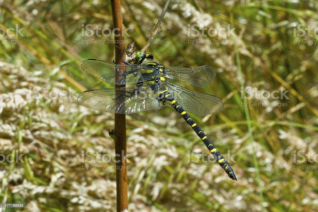 Dragonfly (Odonata) and branch royalty-free stock photo