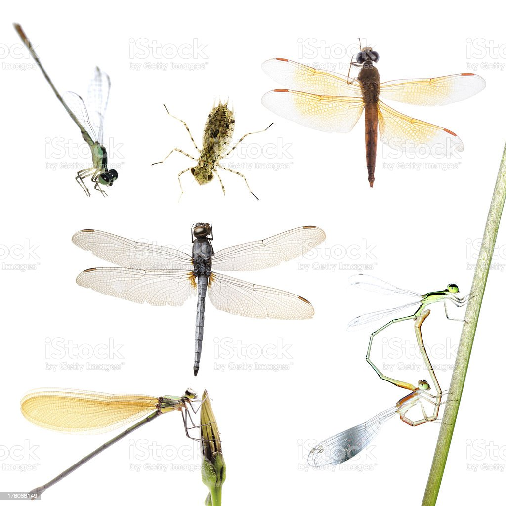 dragonfly and damselfly collection royalty-free stock photo