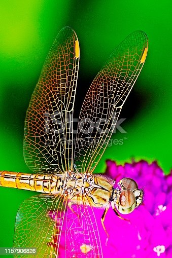 Dragonfly and transparent wings on Amaranth flower.