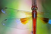 Dragonfly and transparent wings on branch.