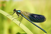 Photo showing a male blue damselfly perched on a small reed growing at the edge of a water garden.  This European damselfly is pictured taking a rest from flying, warming itself up in the strong sunshine and preparing to fly off, with its wings raised.  Other names for this species include common / northern bluet or common blue.