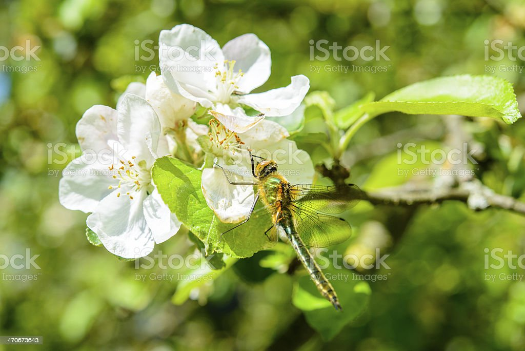 Dragonfly blossom royalty-free stock photo