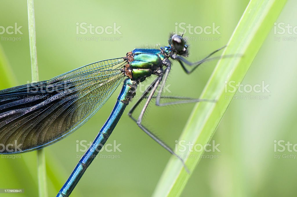 Dragonfly - close up royalty-free stock photo