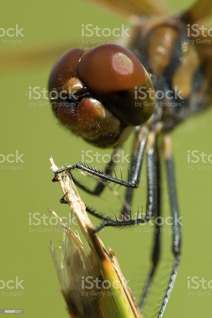 Dragonfly close up royalty-free stock photo