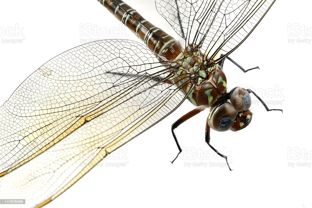 Dragonfly Close-up royalty-free stock photo