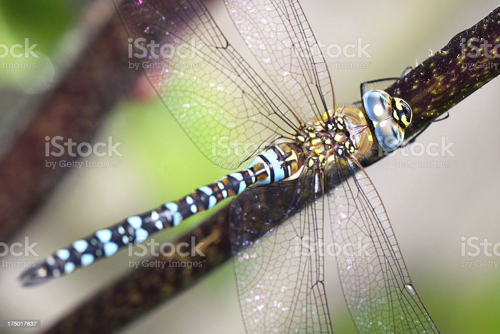 Dragonfly (Aeshna mixta) close-up stock photo
