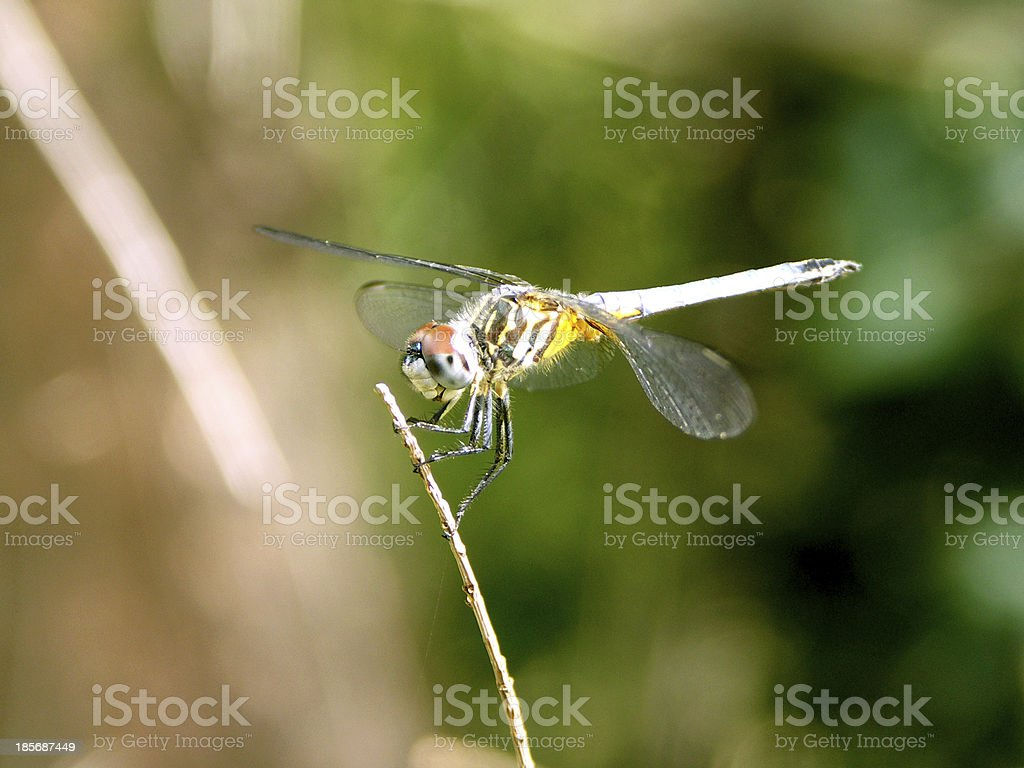 Dragonfly Closeup - Royalty-free Animal Body Part Stock Photo