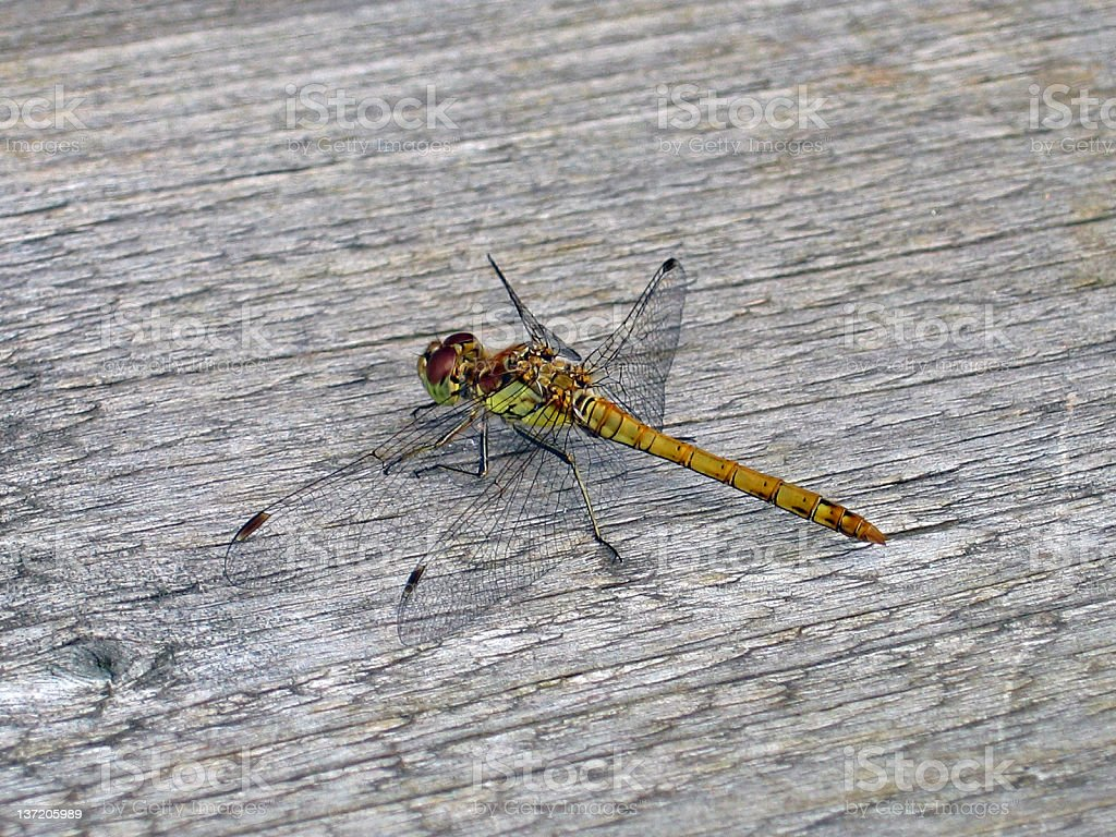 Dragonfly - Common Darter stock photo