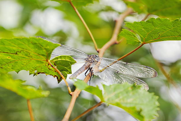 Dragonfly drying on a branch  after the rain. stock photo