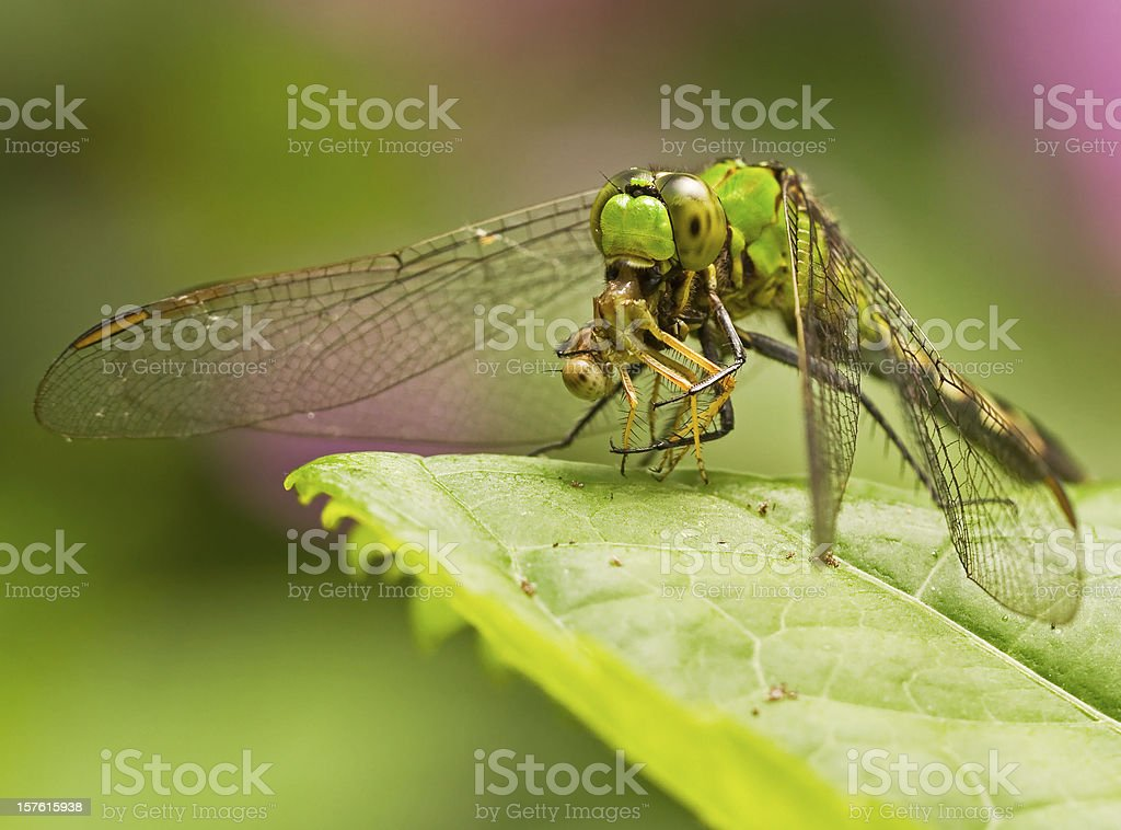 Dragonfly eating damselfly stock photo