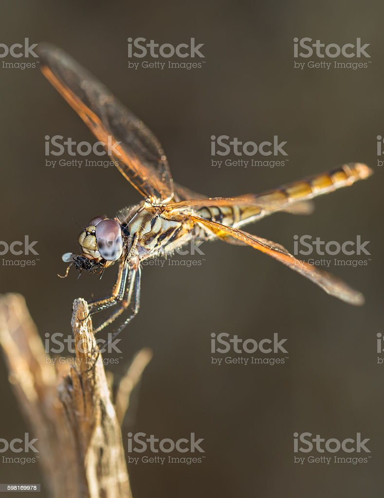Dragonfly eating insect stock photo