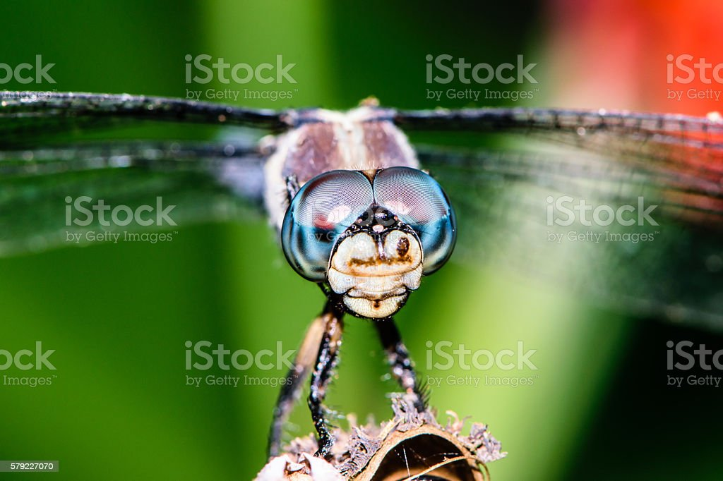 Dragonfly Eyes Close Up stock photo
