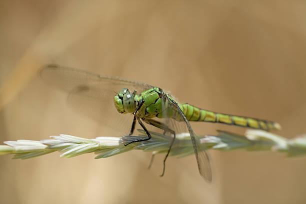 Dragonfly, Female Western Pondhawk stock photo