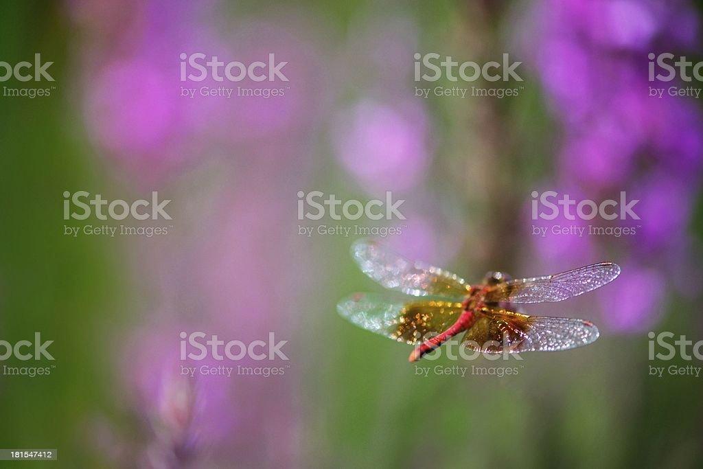 Dragonfly Flight royalty-free stock photo