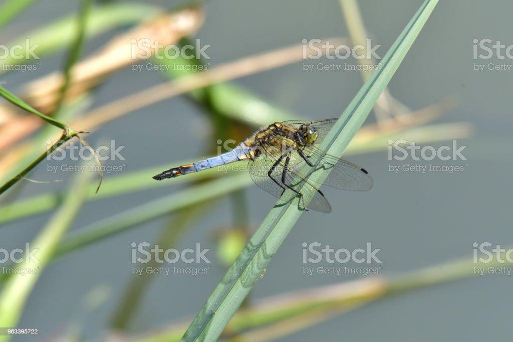 ważka pływająca na zielonej trawie liściastej - Zbiór zdjęć royalty-free (Część ciała zwierzęcia)