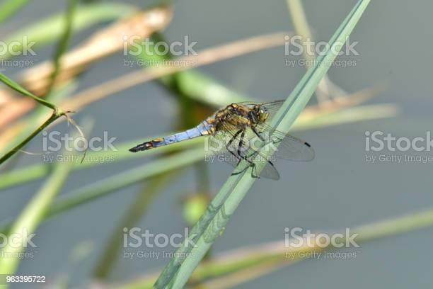 Ważka Pływająca Na Zielonej Trawie Liściastej - zdjęcia stockowe i więcej obrazów Część ciała zwierzęcia