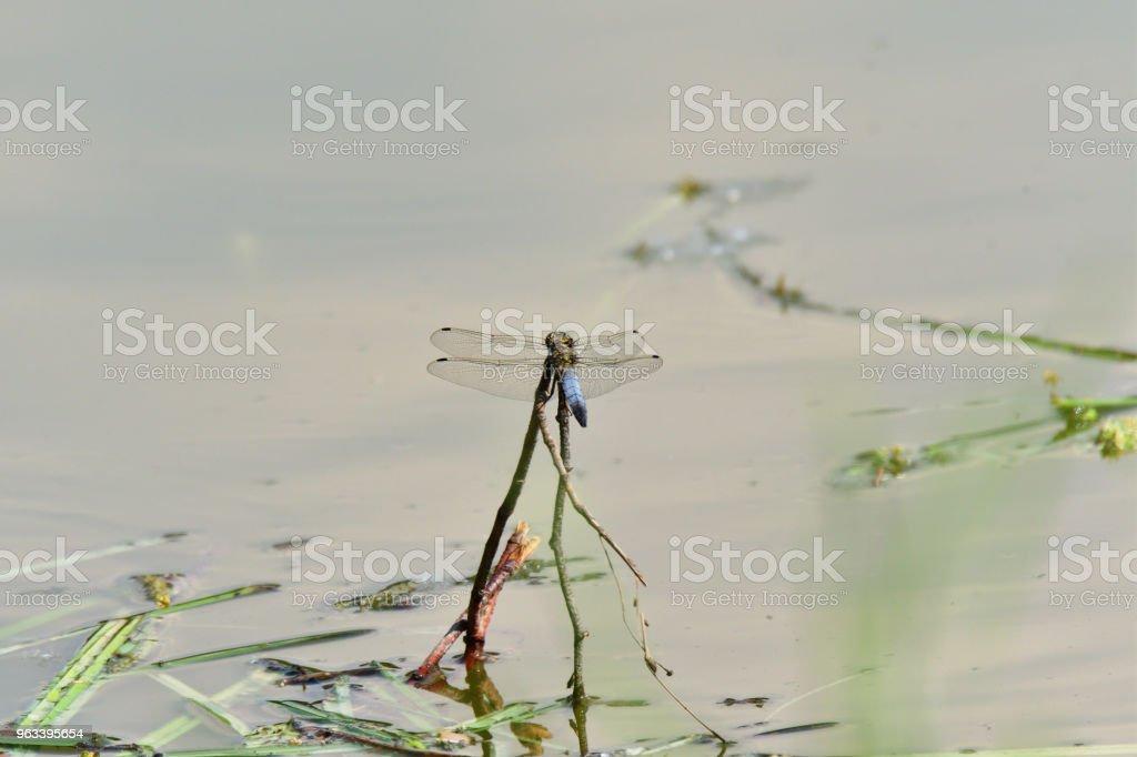 dragonfly flying on the water lake close up - Zbiór zdjęć royalty-free (Część ciała zwierzęcia)