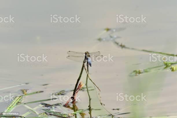 Ważka Latające Na Jeziorze Wodnym Z Bliska - zdjęcia stockowe i więcej obrazów Część ciała zwierzęcia