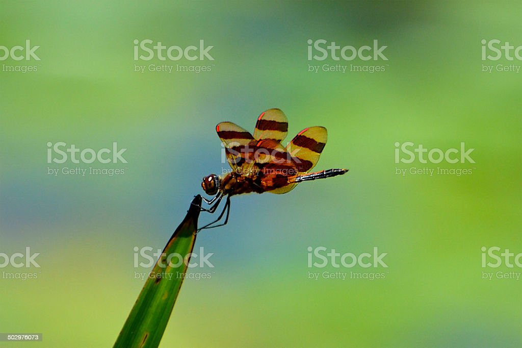 Dragonfly - Halloween Pennant - Male stock photo