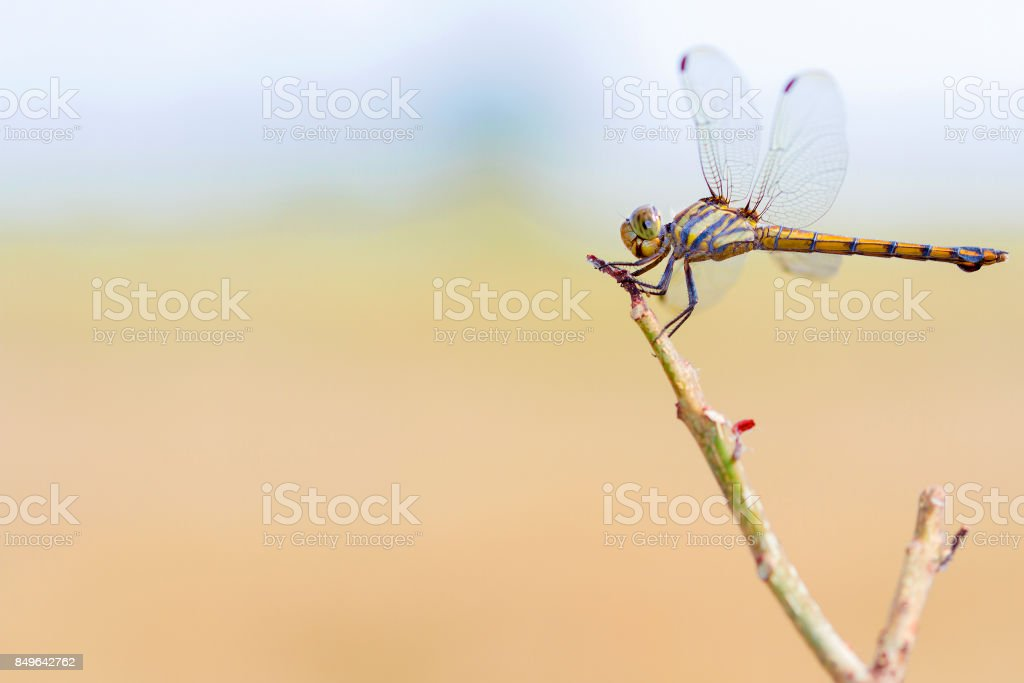 Dragonfly hanging on the dry branches on daylight stock photo