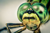 Dragonfly head in macro