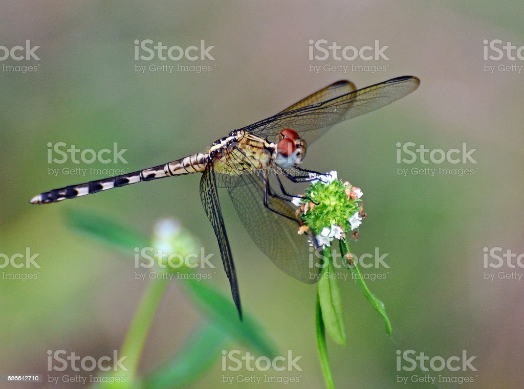 Dragonfly holding Bouquet royalty-free stock photo