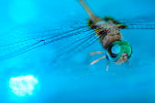 Dragonfly in blue water with bokah .