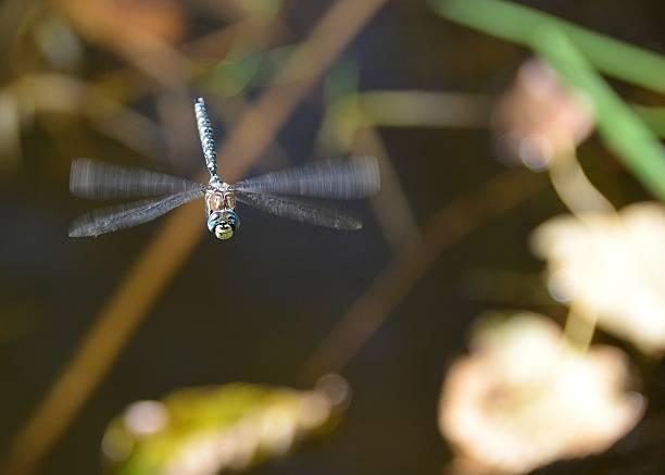 libelle im flug - wilde hilde stock-fotos und bilder
