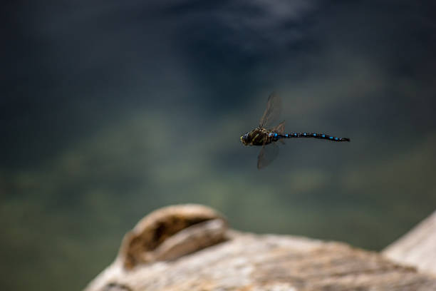 Dragonfly in flight stock photo