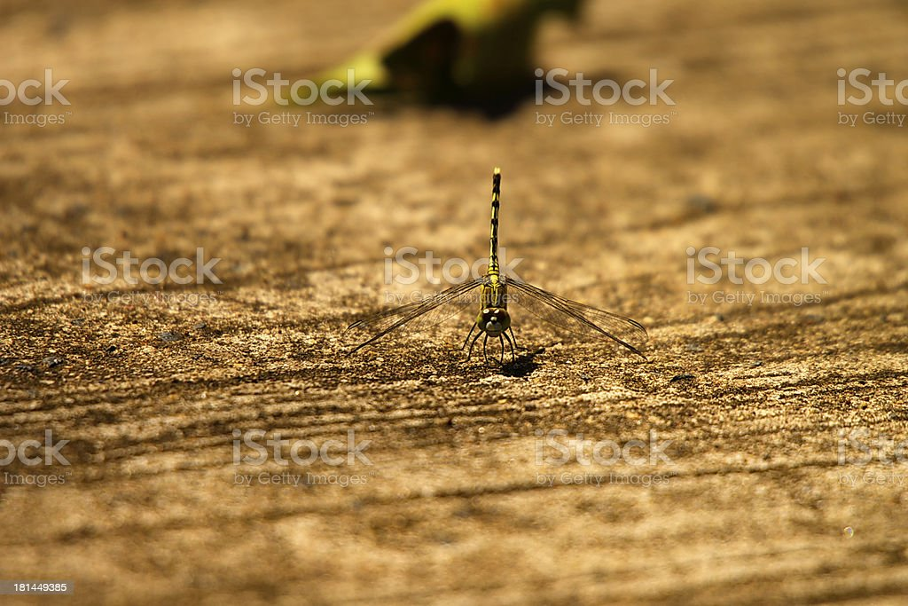 Dragonfly In Focus royalty-free stock photo