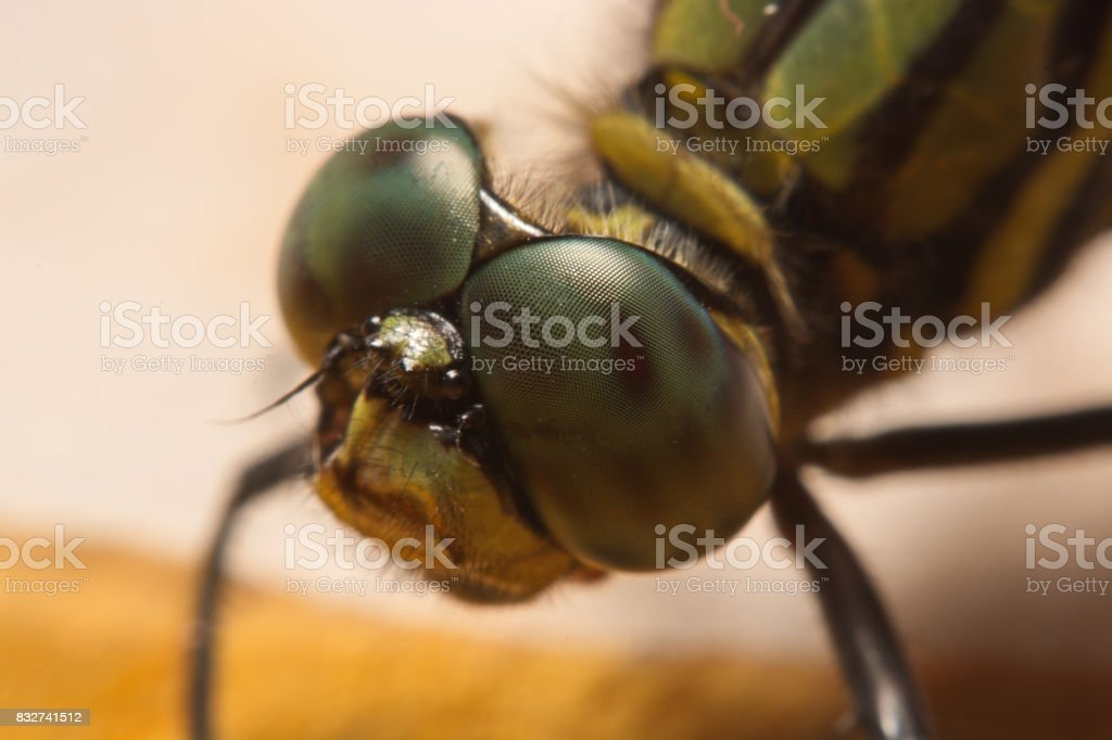dragonfly in nature. macro An animal  in the nature stock photo